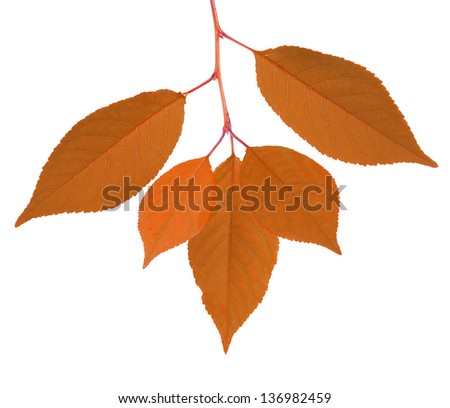 cherry tree autumn leaves isolated on white background - stock photo