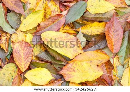 Cherry-tree autumn leaves on the ground. Cerasus. - stock photo