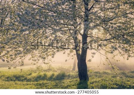 Cherry tree blooming over foggy sunrise - stock photo