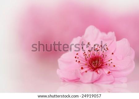 Cherry tree blossom. - stock photo