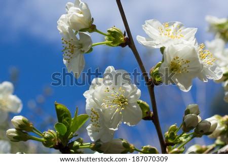 Cherry tree blossom against blue sky - stock photo
