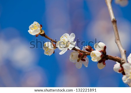 Cherry tree blossom flowers at spring over blue natural sky background - stock photo