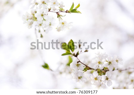 Cherry tree blossom in spring - stock photo