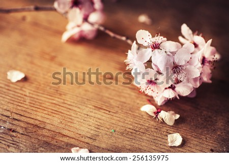 Cherry tree Blossom over nature background/ Spring flowers/ Spring bloom Background, romantic white flowers - stock photo