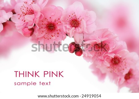 Cherry tree blossoms on white background. - stock photo