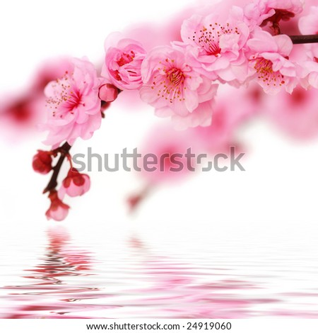 Cherry tree blossoms reflected in rendered water isolated on white background. - stock photo