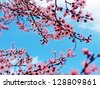 Cherry tree branch blooming against vivid blue sky - stock photo