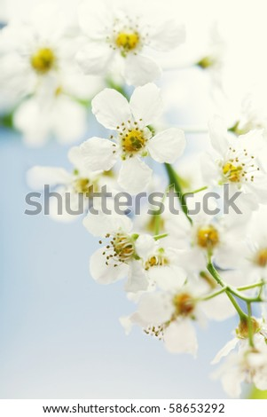 Cherry tree branch in bloom. Blue sky background - stock photo