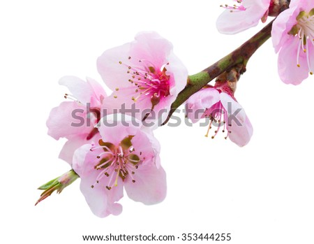 Cherry tree branch with blooming pink flowers isolated on white background