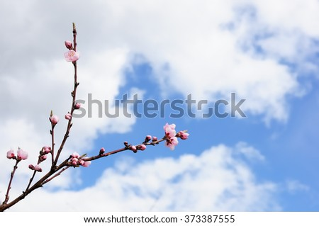 Cherry tree branch with the very first flowers and buds against a cloudy blue sky. Spring background.