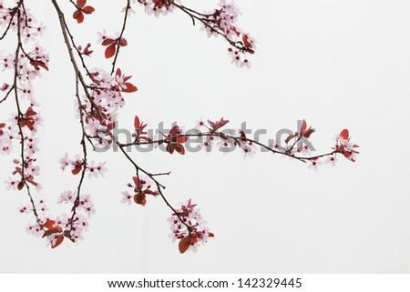 Cherry Tree Branches - stock photo