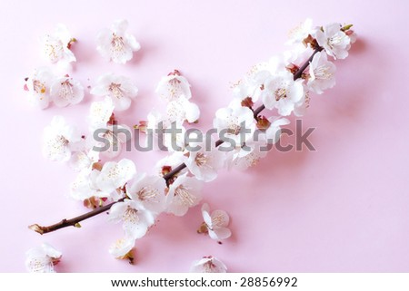 Cherry tree flowers in soft focus - stock photo