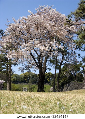Cherry tree from Japan