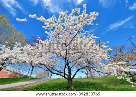 Cherry tree in early spring - stock photo