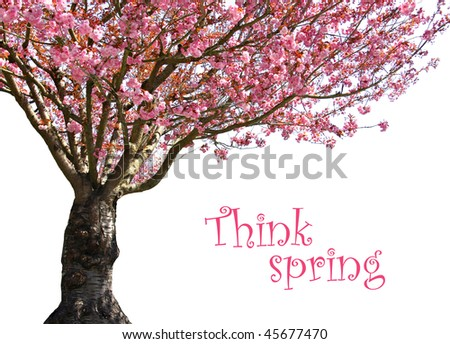 Cherry tree in full bloom, isolated on white. Add your own text. - stock photo