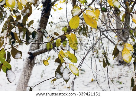 Cherry tree in the garden, the first snow. - stock photo
