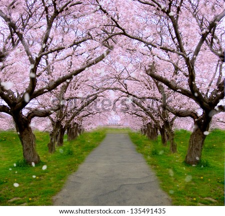 Cherry tree   Shower of falling cherry blossom petals - stock photo