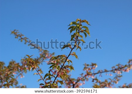 Cherry tree which droops