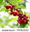 Cherry tree with ripe cherries in the garden. - stock photo
