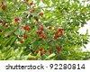 Cherry tree with ripe cherries in the garden. - stock photo