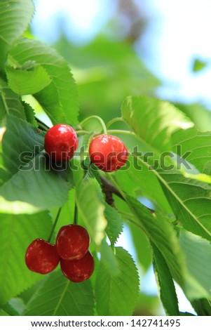 Cherry tree with unripe berries - stock photo