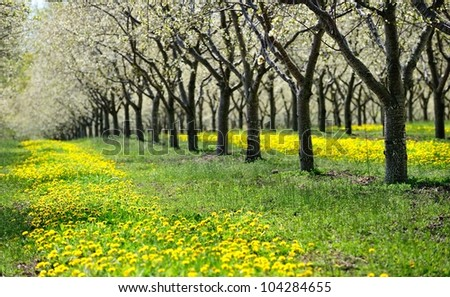 Cherry Trees in Blossom, Traverse City, Michigan USA - stock photo