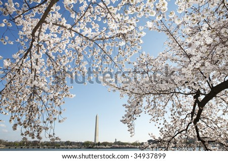 Cherry trees in full bloom along the Tidal Basin in Washington, DC with the Washington Monument in the background. - stock photo