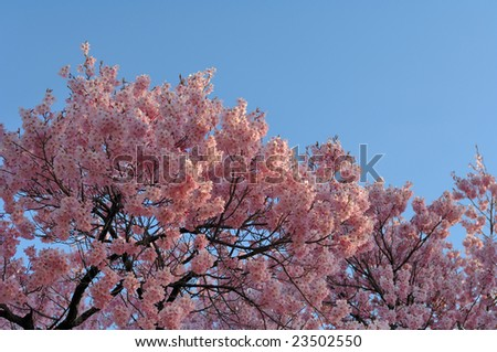 Cherry trees in full blossom - stock photo