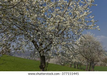 Cherry trees in spring, Hagen, Lower Saxony, Germany - stock photo