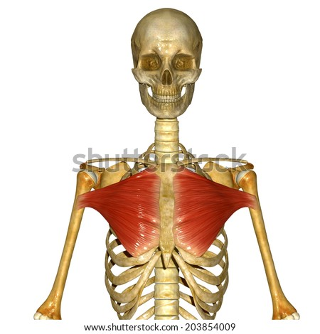 Chest muscles - stock photo
