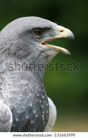 Chested Buzzard close-up - stock photo