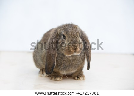 Chestnut Agouti Very Cute French Lop Bunny