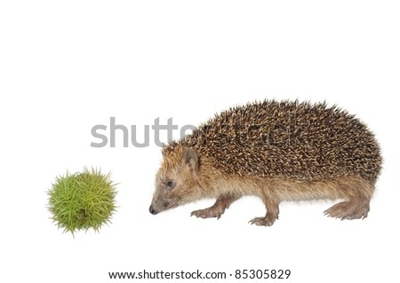chestnut and hedgehog on white background - stock photo