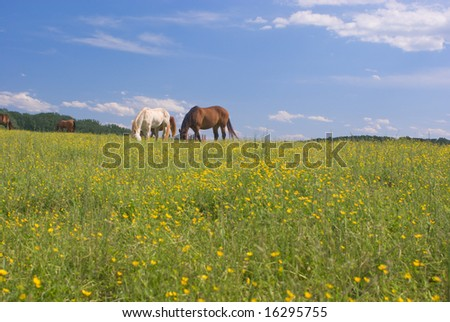 Chestnut and White Horses Grazing in a Field of Buttercups Under a Partly Cloudy Blue Sky - stock photo
