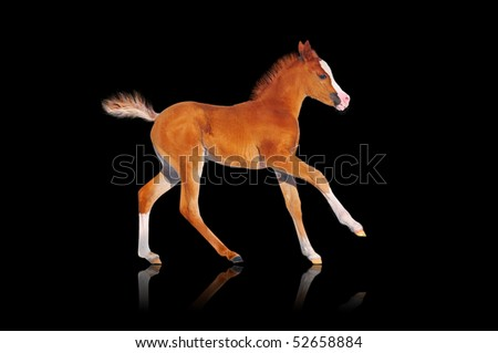 chestnut arab running foal on white - stock photo