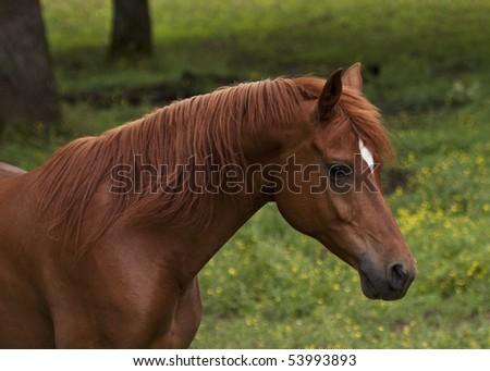 Chestnut Arabian - stock photo