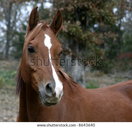 Chestnut Arabian