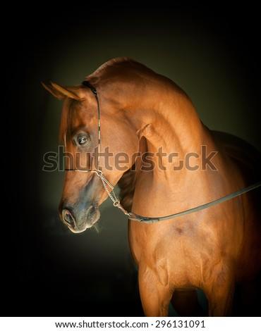 chestnut arabian horse portrait on black background - stock photo