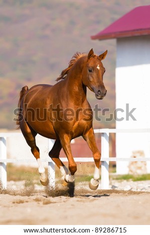 chestnut arabian horse runs gallop on freedom - stock photo