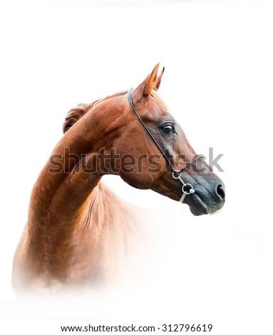 chestnut arabian stallion isolated over a white background - stock photo