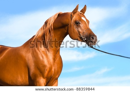 chestnut arabian stallion portrait on the sky background - stock photo