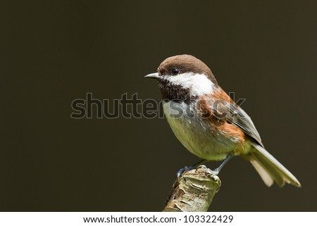 Chestnut-backed Chickadee (Poecile rufescens). - stock photo