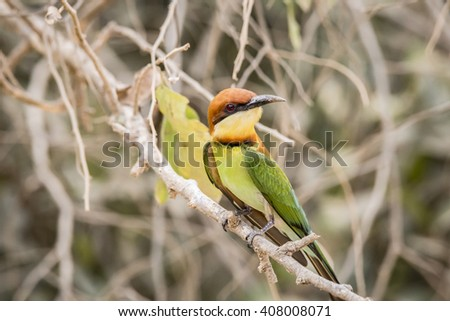 Chestnut Bee Eater Isolated
