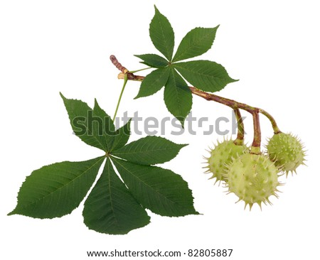 Chestnut branch with leaves isolated on white background - stock photo