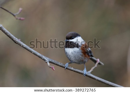 chestnut chickadee sitting on a branch - stock photo