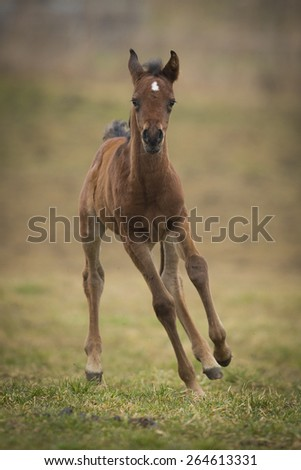 Chestnut Colt Running On The Meadow