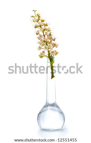 Chestnut flower in a bottle - stock photo