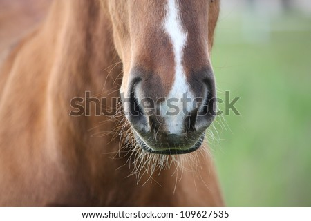 Chestnut foal with white stripe muzzle close up - stock photo