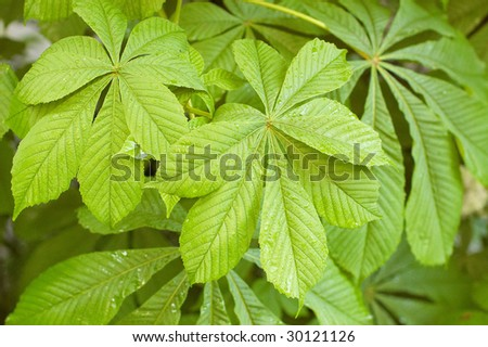Chestnut  foliage. Can be used as background - stock photo
