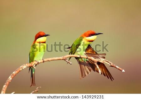 Chestnut-headed Bee-eater - stock photo